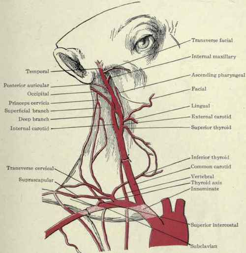 Arteries Of The Neck Ligation Part 2