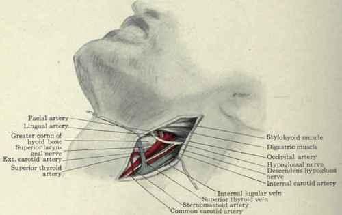 Arteries Of The Neck. - Ligation. Part 3