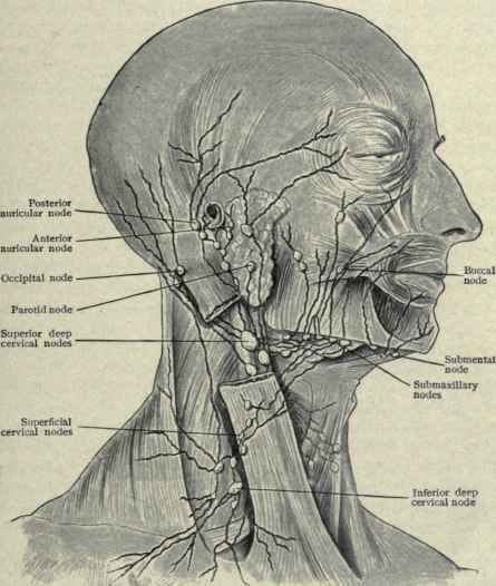 nodes in neck. nodes of head and neck: