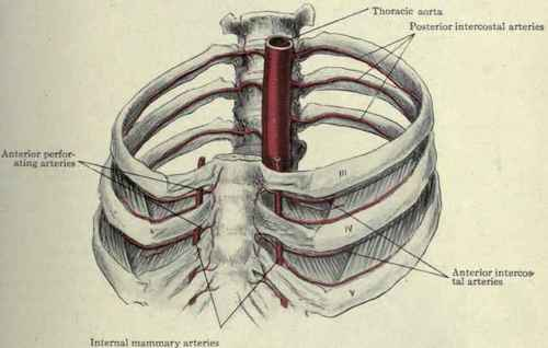 The Intercostal Muscles And Arteries