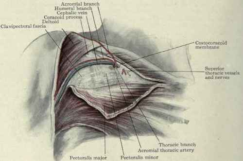 Fig. 201. - The clavipectoral fascia .
