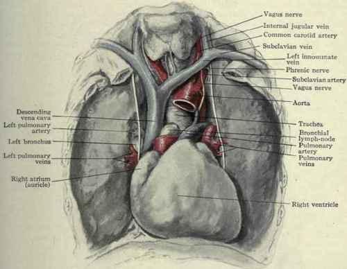 anterior mediastinum anatomy - photo #18