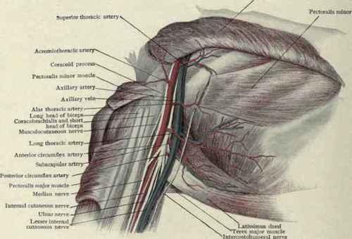Axillary dissection anatomy