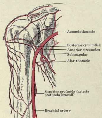 The Axillary Vessels. Part 4