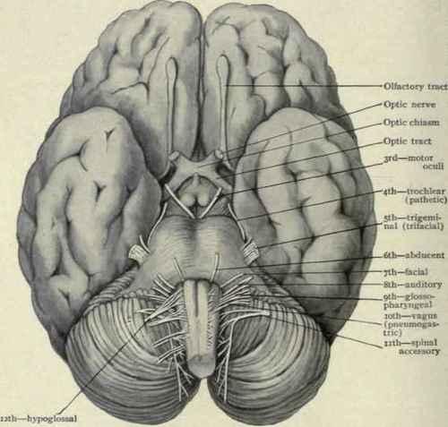 Human brain nerve