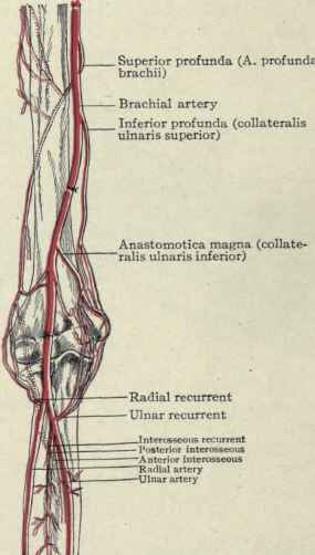 The Brachial Artery Continued