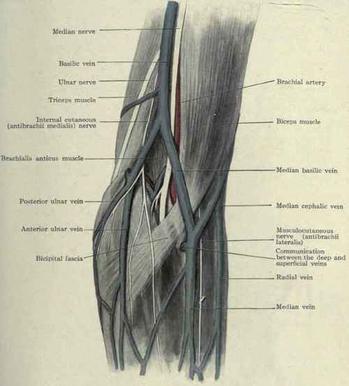 the veins of the elbow, Cephalic Vein