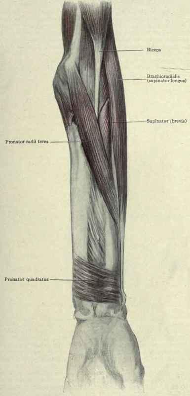 3 Pronators And Supinators Of The Hand