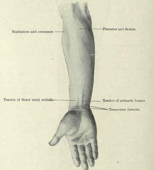 Surface Anatomy Of The Forearm