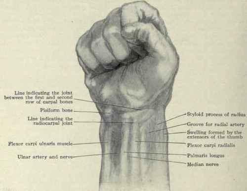 Surface Anatomy Of The Wrist