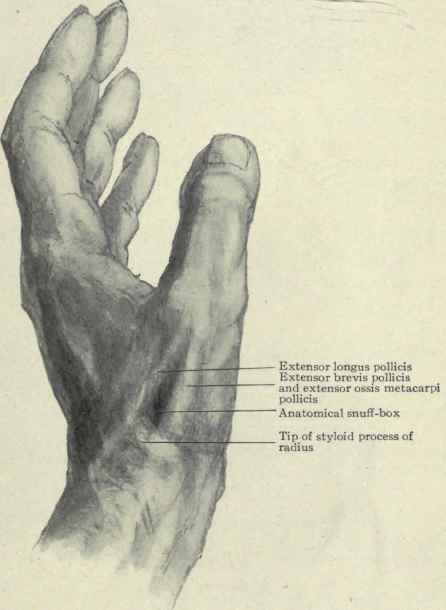 Surface Anatomy Of The Wrist