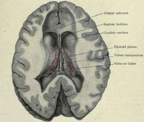 Dorable Velum Interpositum Anatomy Ornament - Anatomy And Physiology ...