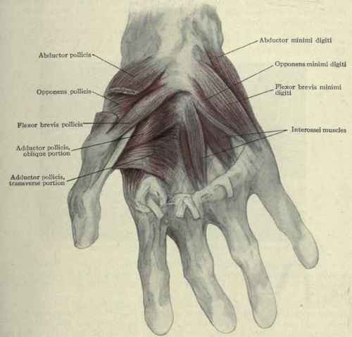 Human Left Hand Muscles