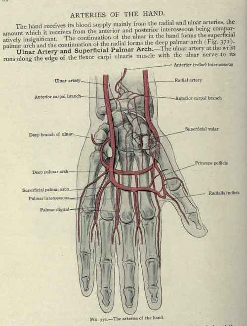 Dorsal Hand Anatomy Choice Image - human body anatomy