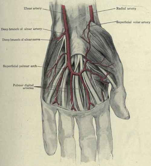 Surface Anatomy Of The Hand. Continued