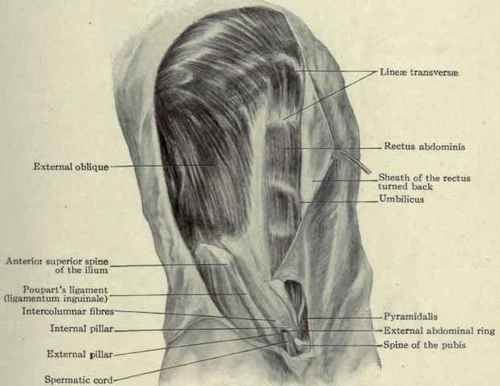 Muscles Of The Abdomen
