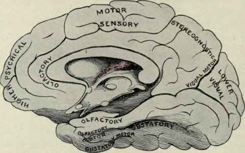 human brain diagram. Diagram illustrating the motor