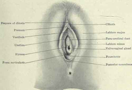 Fig. 465. - External female genitals (vulva).