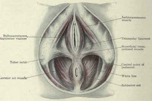 The Female Perineum