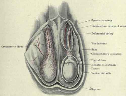 Scrotum Anatomy http://chestofbooks.com/health/anatomy/Human-Body-Construction/The-Male-External-Genitals-Part-2.html