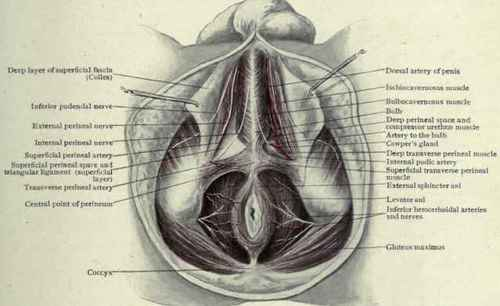 Scrotal Raphe http://chestofbooks.com/health/anatomy/Human-Body-Construction/The-Male-Perineum.html