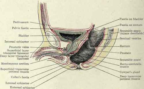 Male perineal anatomy
