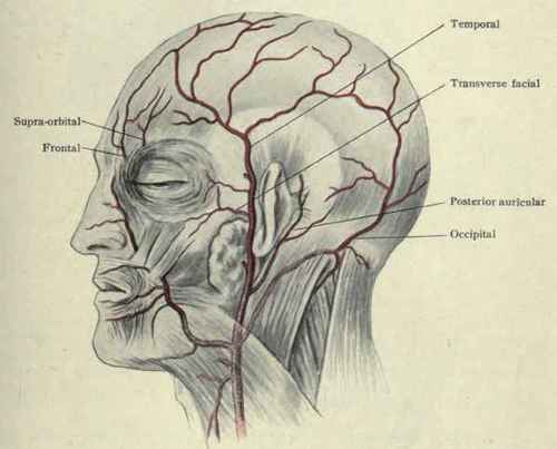 Occipital Artery Does his scalp has mus...