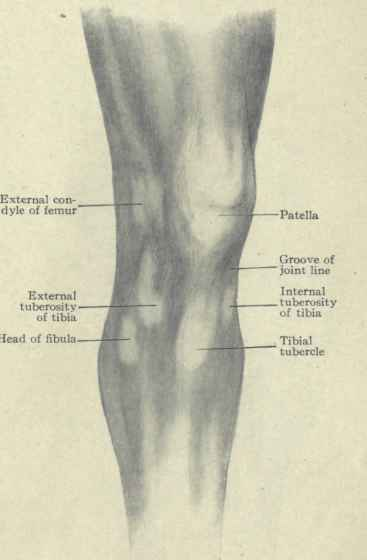 Region Of The Knee Surface Anatomy