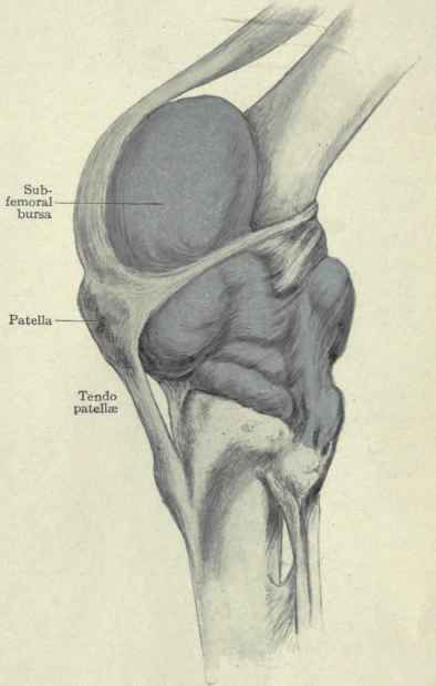 The knee joint part 2 knee joint distended with wax showing the extent of its cavity ccuart Choice Image
