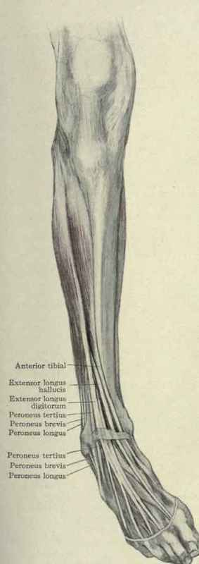 Extensor and abductor muscles of the leg.