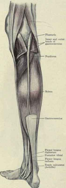 Extensor and abductor muscles of the leg. Fig. 560.
