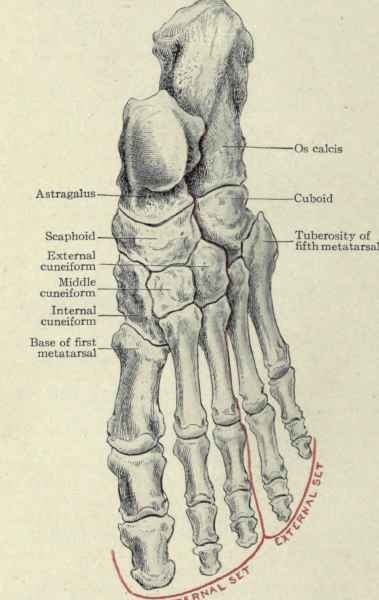 When there is congenital absence of the tibia the foot bones related to it