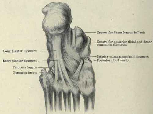 The Joints And Ligaments Of The Foot Continued