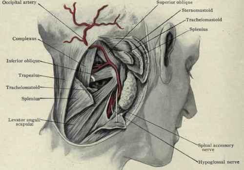 Occipital Artery The Arteries Of The Sc...