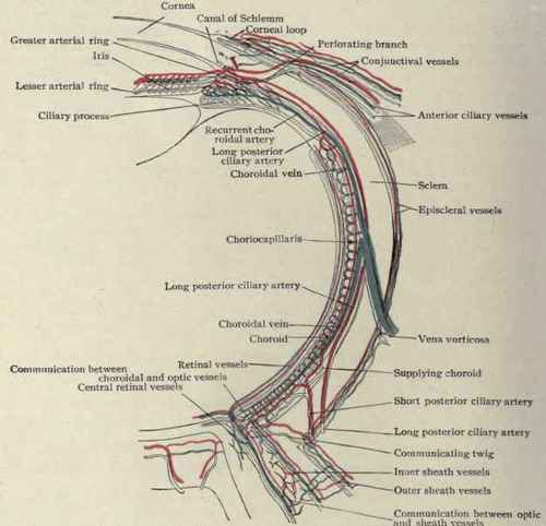 the eyeball and optic nerve part 4 : optic nerve diagram - findchart.co