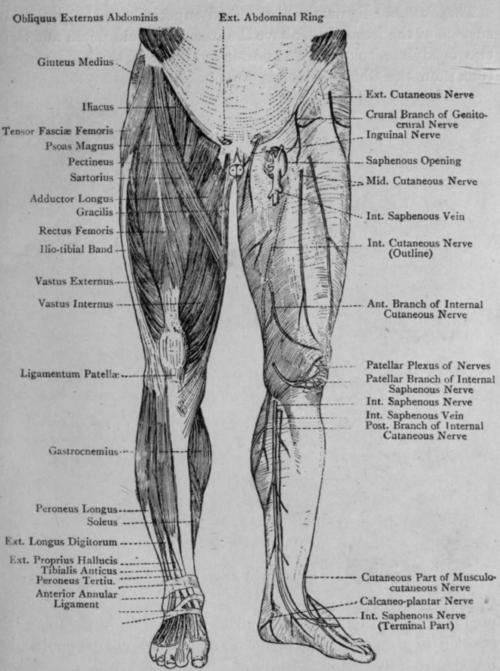 Section Iii Pelvic Girdle And Lower Limb