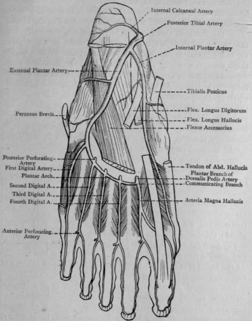 foot anatomy coloring pages - photo#36