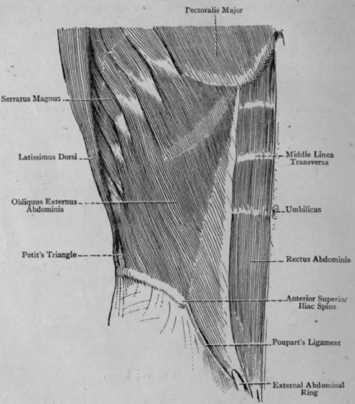 Anatomy abdomen muscles