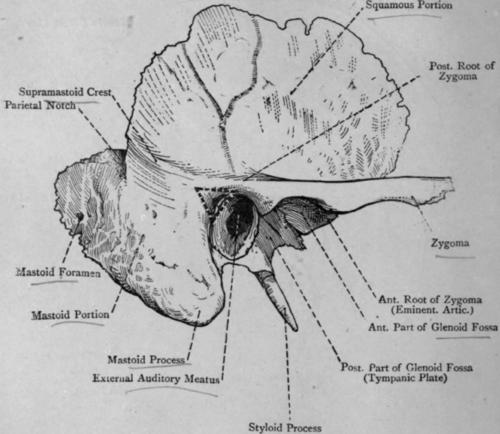 the right temporal bone apex predator diagram petrous apex diagram