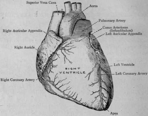 Section IX. Heart And Bloodvessels Of Head, Neck And Trunk