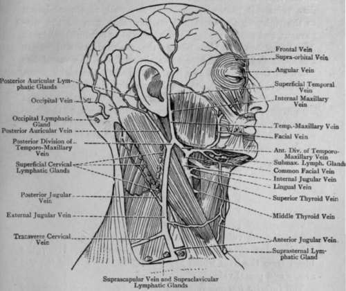 Veins and Glands of Head and Neck. Fig. 59. - Veins and Glands of Head and