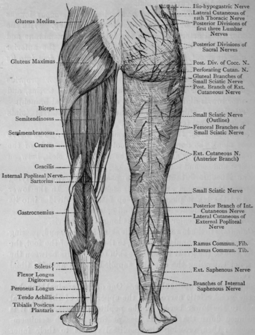 Lower Leg Nerves http://chestofbooks.com/health/body/massage/Handbook-Of-Anatomy-For-Students-Of-Massage/Lumbar-And-Sacral-Plexus-And-Nerves-Of-Lower-Limb-Continued.html