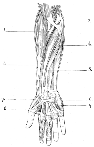the upper limb muscles