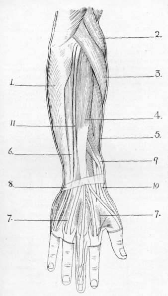muscles of the forearm coloring pages
