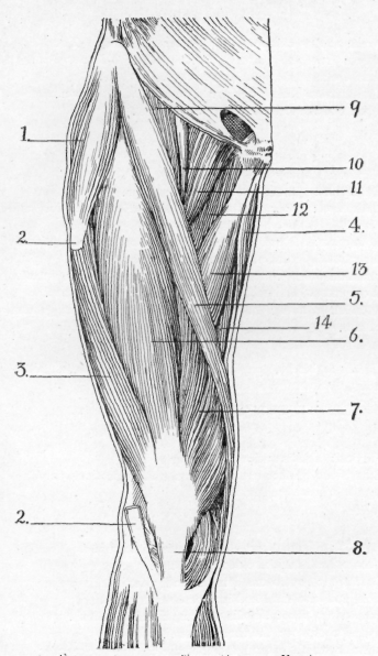 muscles of leg. Fig 53 Muscles of Thigh