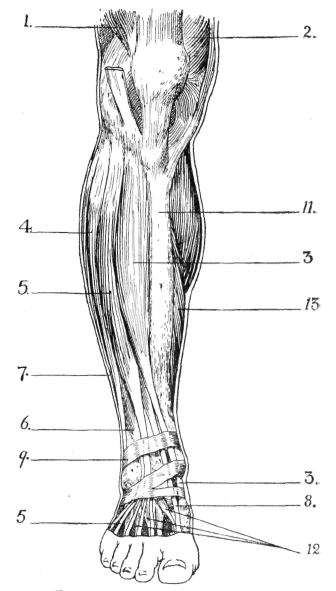 Ligaments Of The Lower Limb