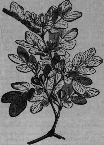 Rheum Ribes                       4       508x371   38kB