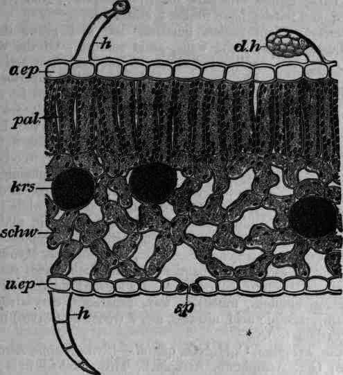 Fig  353  Belladonna Leaf Cross Section  O Ep  Upper Epidermis With