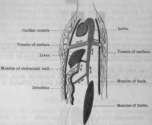 584 x 589 29 kb gif internal organs http www acebo com organs htm