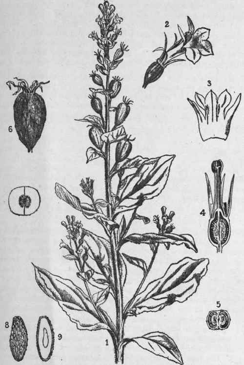 Lobelia Herba Lobeliae
